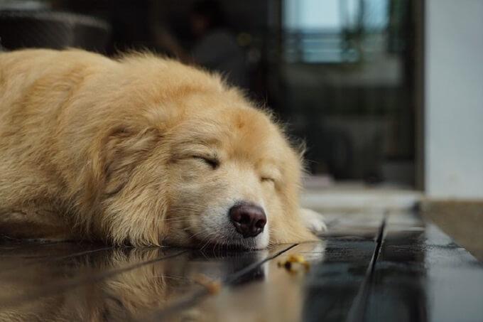 昼寝中の犬