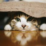 毛布を被っている猫