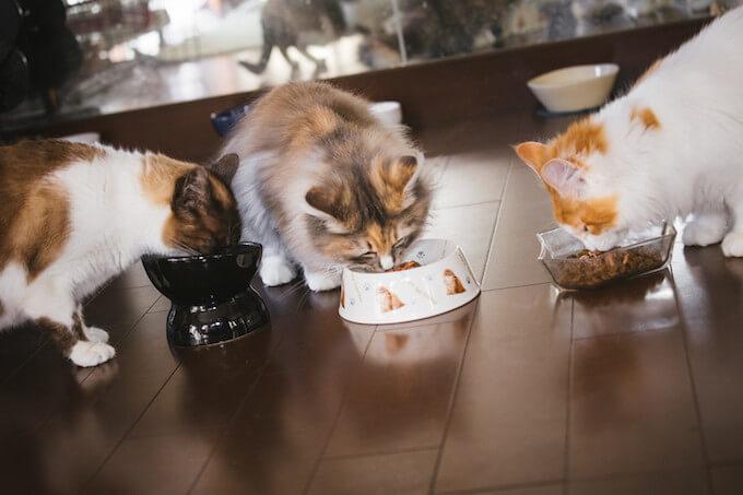 餌を食べている猫達